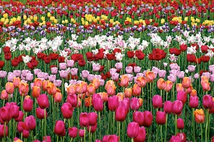 Fr-Tulip-Field-Desktop-Wallpapers