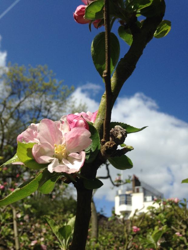 sunny apple blossom